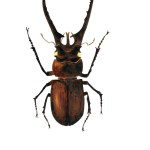 insect, bug, beetle, stag, and Entomology