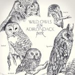 Owls, Great Horned Owl, Snowy Owl, barn owl, and Environment/Nature