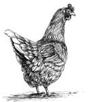 chicken, pen and ink, Barnyard, and nonfiction
